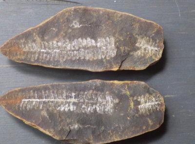 300 Million Year Old Illinois Fossilized Fern Leaf